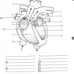 Blank Human Heart Diagram | Learning Me | Heart Diagram, Human Heart | Heart Diagram Printable Worksheet