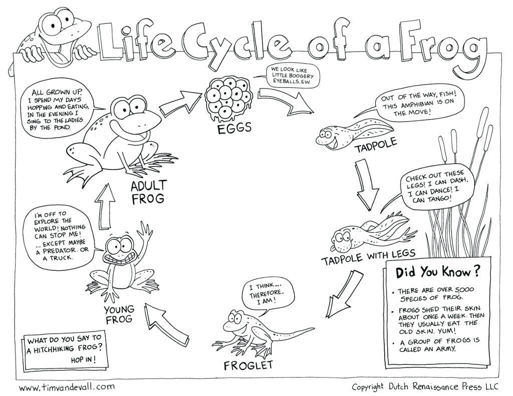 Frog Life Cycle Printable – Shoppingforu.club | Life Cycle Of A Frog Free Printable Worksheets