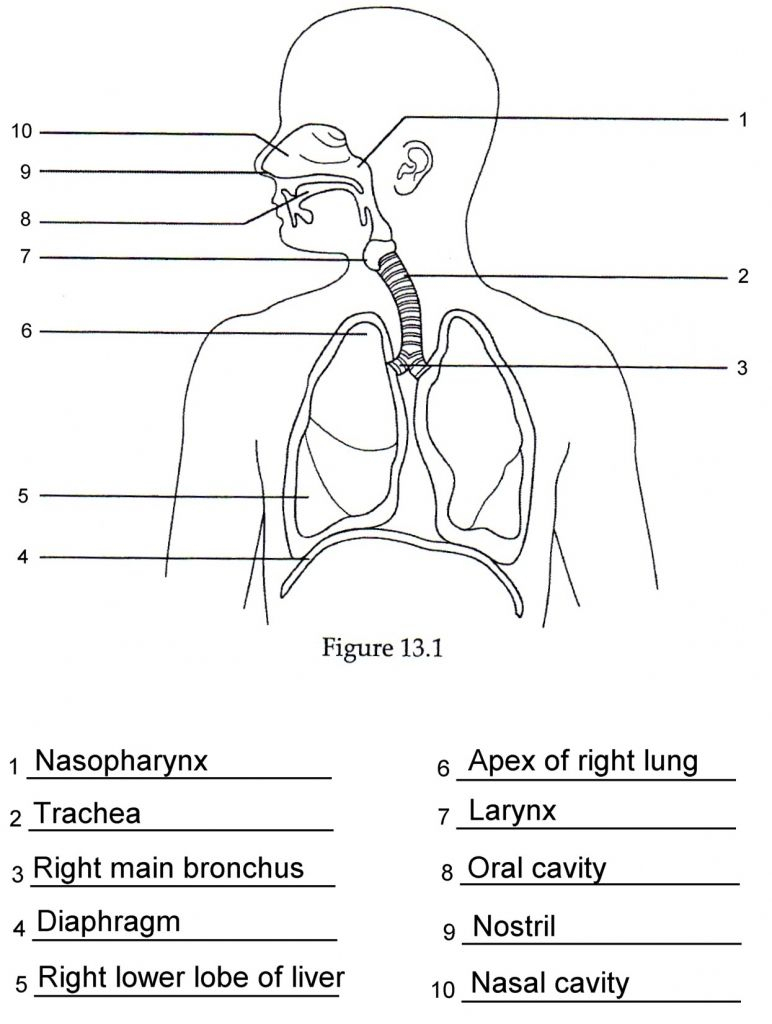 Human Anatomy Labeling Worksheets Respiratory Anatomy Labeling Quiz | Printable Worksheets On The Lungs