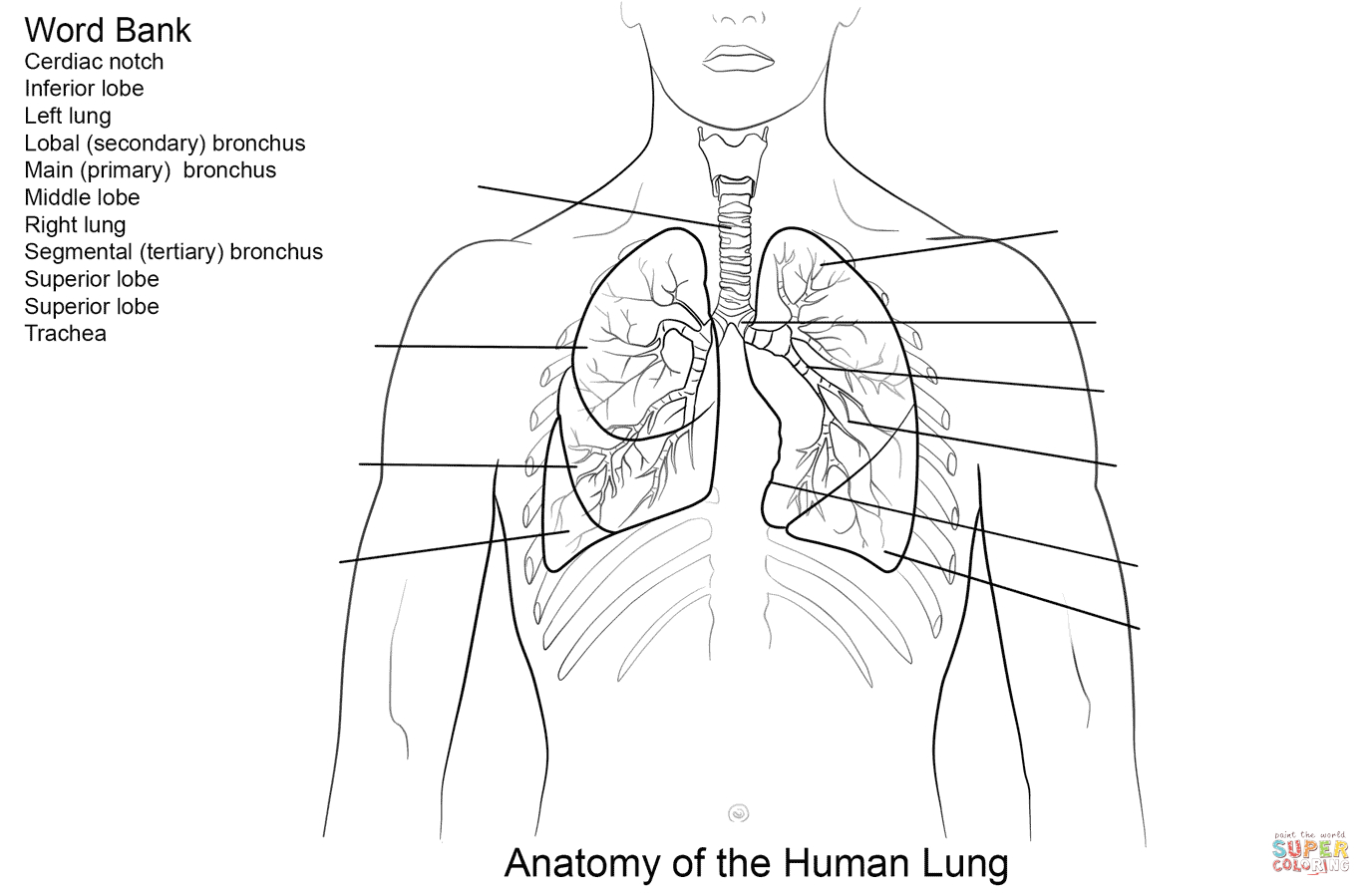 Human Lungs Worksheet Coloring Page | Free Printable Coloring Pages | Printable Worksheets On The Lungs