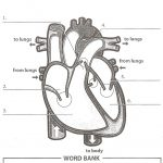 Image Result For Anatomy Labeling Worksheets | Heart Anatomy | Heart | Heart Diagram Printable Worksheet