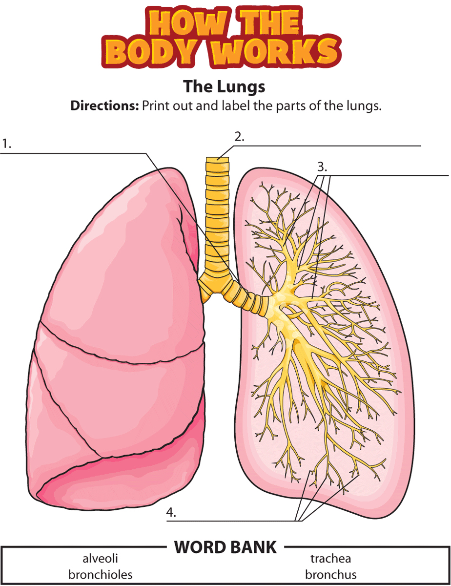 Lungs Labeling | Eced Teaching Ideas | Human Body Science, Human | Printable Worksheets On The Lungs
