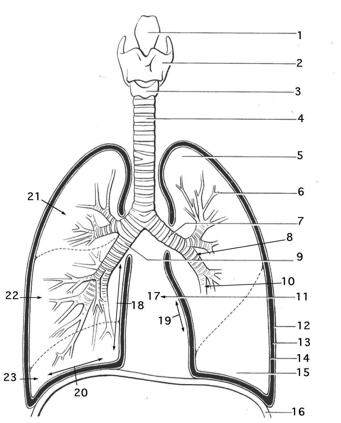 Respiratory System Coloring Page - Coloring Home | Printable Worksheets On The Lungs